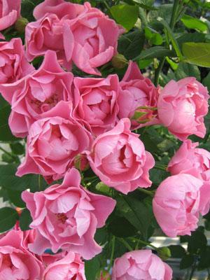 バラ ガーデンウェディング