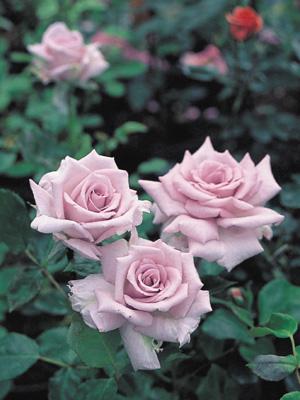 バラ 薔薇の海(ばらのうみ)