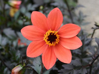 ガーデンダリア フーガ ナチュールの庭 スカーレットファン、ノックアウト