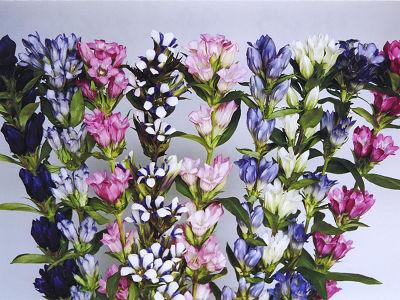 リンドウ 9月咲き品種