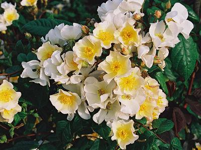 バラ ベルギーローズ(Lens Rose)ロザリタ