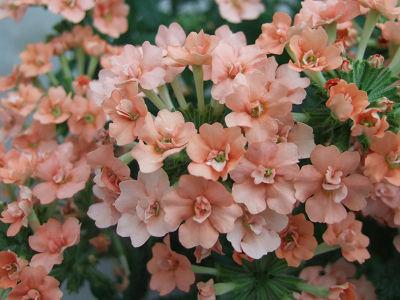 八重咲きバーベナ ロココシリーズ ロココピーチ