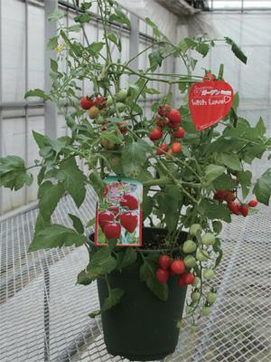 ミニトマト トマトベリーふぁみりー トマトベリーガーデンギフトポット