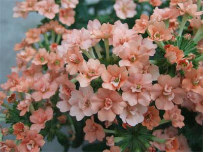 八重咲きバーベナ ロココシリーズ