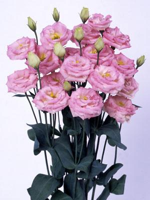 トルコギキョウ ロジーナ ピンクフラッシュ(Ver.2)、ブルーフラッシュ