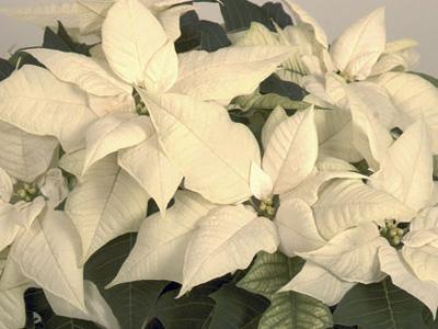 フィッシャーポインセチア ミラ ホワイト