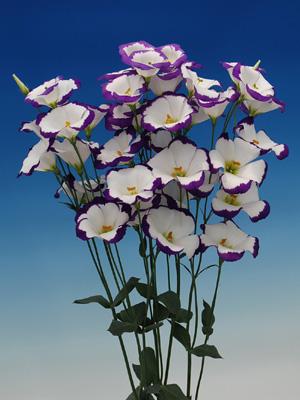 トルコギキョウ 紫音