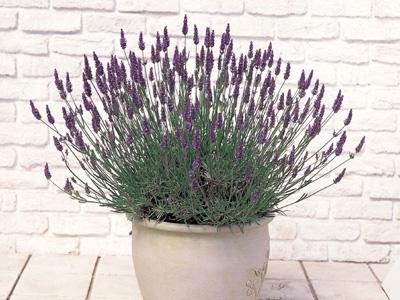 ラベンダー 瑠璃紫