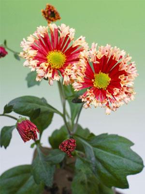 キク 星咲きスプレー菊 コメットジェニー