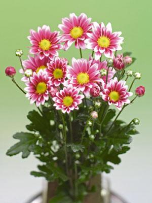 キク 5月咲きカラフル小菊 サマーメロディ