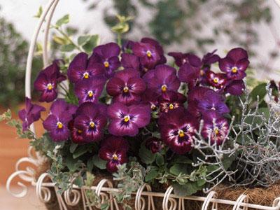 パンジー よく咲くスミレ カシス