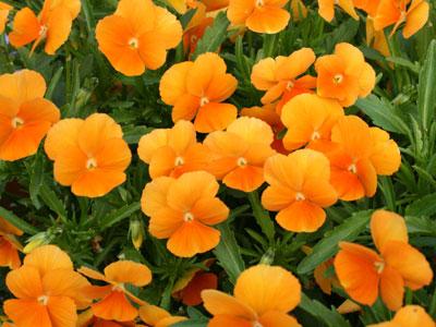 ビオラ シャングリラ オレンジ