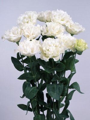 トルコギキョウ レイナ ホワイト