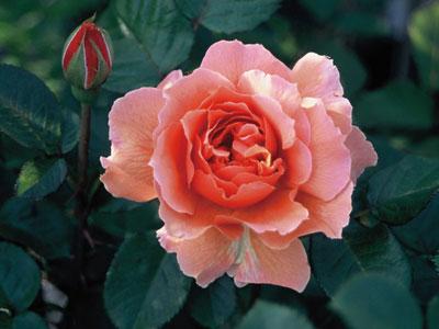 バラ 花菜ローズ
