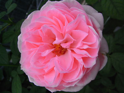 バラ シャイニングローズ 天使の香り