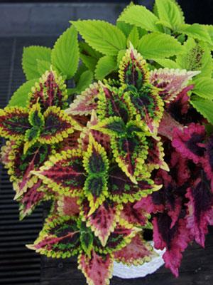 コリウス ミックス植え つのたんイチオシ 真夏に強いシリーズ