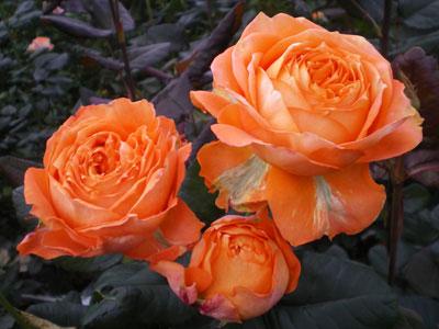 バラ オレンジ ロマンティカ(Var.MEIVOLUPTA)