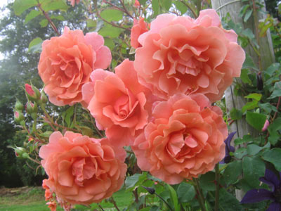 バラ サンセット グロウ