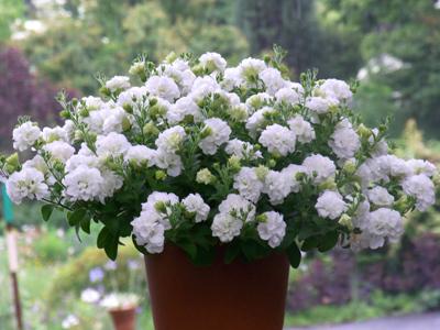 ペチュニア ガーデンプリンセス ダブルホワイト
