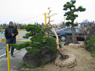 広い植木競売場で活気あふれる大市。盆栽仕立庭木は高値で取り引き