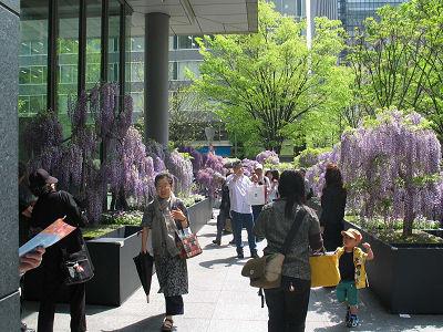 丸の内フラワーウィークスであしかがフラワーパークによる「藤のお花見ガーデン」
