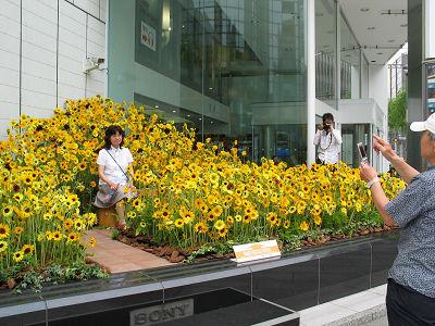 元気いっぱいのヒマワリが東京・銀座のソニースクエアを飾る