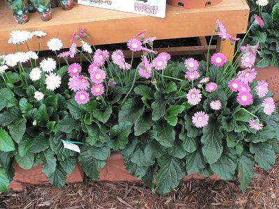 庭植えできるガーデンガーベラ「エバーラスト」。3株入りコンテナ