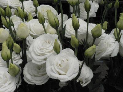 ユーストマ「ミンク」。白八重で花型が良い