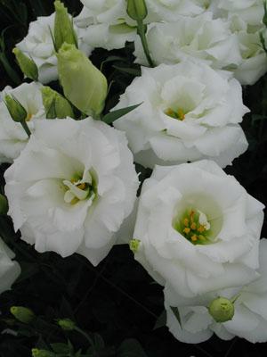 八重純白のトルコギキョウ「ジュエリースノー」。輪の大きさ、そろいの良さも特徴