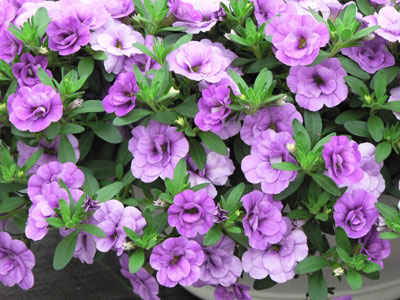 八重咲きカリブラコア「ペティダブル」の新色「ダブルアメジスト」