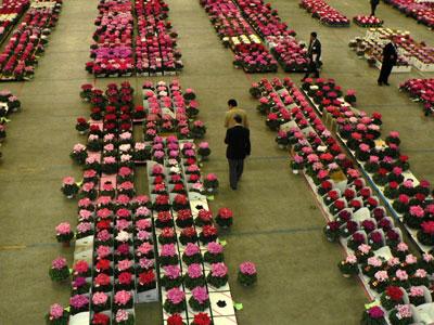 豊明花きに全国の鉢花が大集合