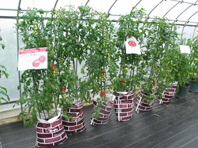 「トマトベリーガーデン おいしく栽培土」で袋栽培