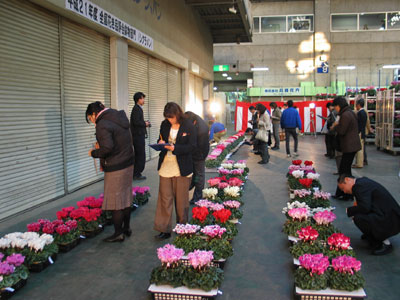 FAJで全国花き品評会鉢物部門シクラメン