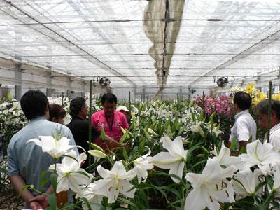 中村農園で「ゆりフェスタ」。500品種の開花株を一堂に展示