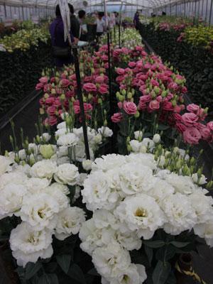 トルコギキョウで最大級の花径「レイナ ホワイト」(手前)。フリルの白八重で存在感