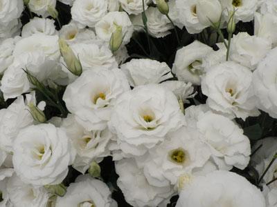 白八重トルコギキョウ「天てまり」。来年1月から試験販売