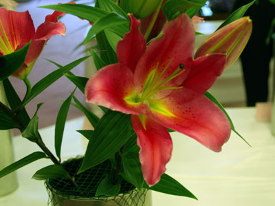 オリエンタルユリ大輪種「タランゴ」。赤に近い濃いピンク