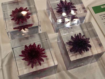 農研機構・花き研究所が展示した青紫色のキク(右)