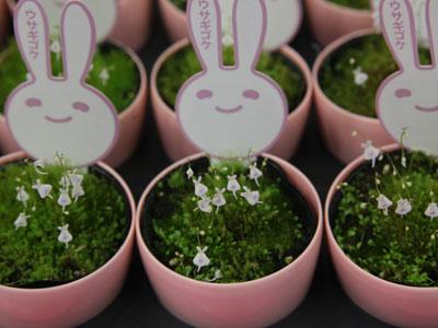 愛らしい花とPOPが目を引く大彰園の「ウサギゴケ」