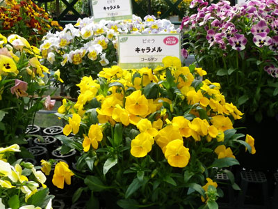 ビオラ「キャラメル ピュアゴールデン」はヒゲの出ない明るい黄花