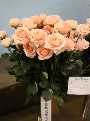 農林水産大臣賞を受賞した東伸幸氏(奈良)のバラ「フェアリーテール」