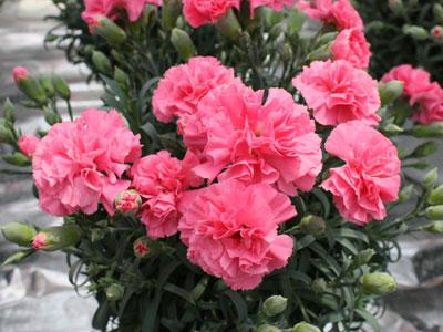 花持ちが良いピンクのポットカーネーション「マハロ」