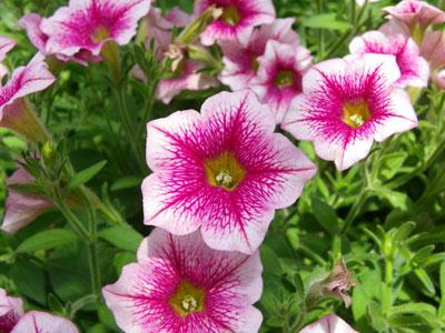 目を引く花色のペチュニア「ギュギュ アイスピンク」  目を引く花色のペチュニア「ギュギュ アイス