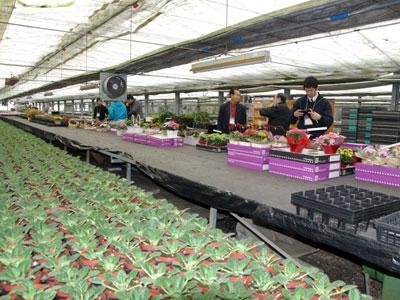 セントポーリア生産日本一を誇るロイヤルグリーン