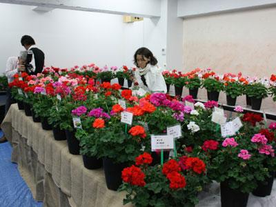 ゼラニューム協議会で品種を多数展示、人気投票も行われる