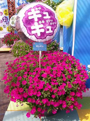 多くの花を着け株のまとまりも良いペチュニア「ギュギュ」