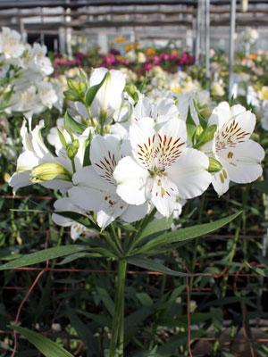 """福花園種苗が""""次世代の白""""として紹介、アルストロメリア「ホイットニー」"""