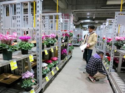 東京砧花き品評会シクラメンの部の審査風景