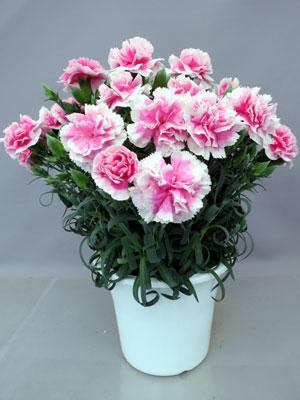 白覆輪のピンク「フィナンシェ」