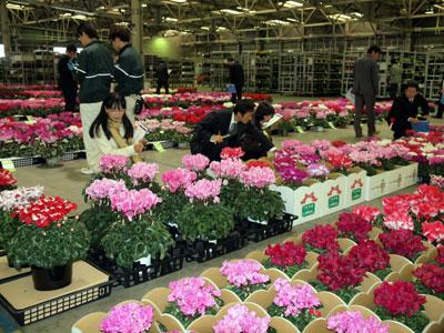 豊明花きで鉢花・蘭の品評会